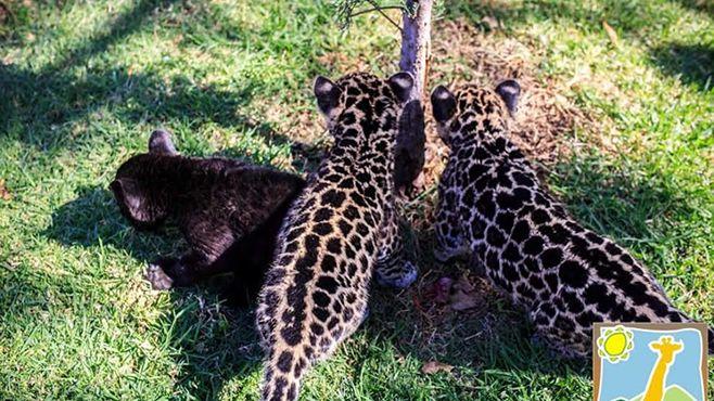 Photo of Tres nuevos bebés jaguares en el Zoo Ira