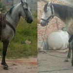 Roban tres caballos de carreras en Celaya