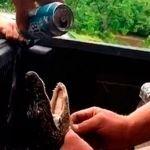 Hombres abusan de caimán y lo obligan a beber cerveza