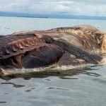 Desconcierta a científicos cadáver gigante de monstruosa criatura