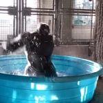 """""""Zola"""" el gorila que baila breakdance mientras se baña, en un fenómeno en las redes"""