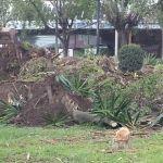 """""""Un día plantan árboles y luego tumban""""; molesta a ciudadanos tala de árboles en glorieta"""
