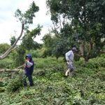 Ventarrón tumba árboles en Huanímaro