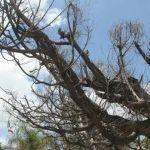 Afecta plaga árboles de jardín principal en Huanímaro