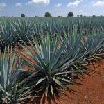 Tiene Guanajuato 7 municipios con denominación de origen de tequila
