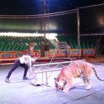 Tigre escapa de circo en Francia  y es abatido