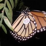 Presenta Instituto de Ecología del Estado resultados de monitoreo de monarca 2017