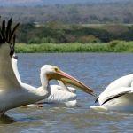 Llegan aves migratorias a Cuerámaro; cazadores asesinan a pelícanos