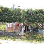 Poda ligera de árboles en comunidades de Huanímaro
