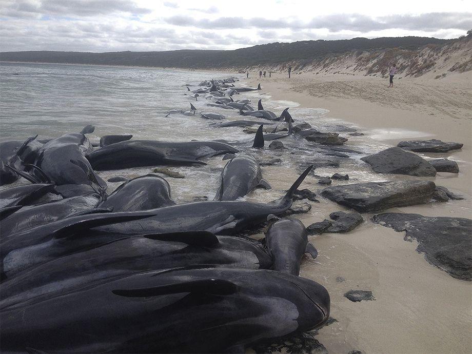Photo of Las tristes imágenes de más de 150 ballenas varadas en una playa de Australia