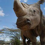 Muere Sudán, último rinoceronte blanco macho del planeta