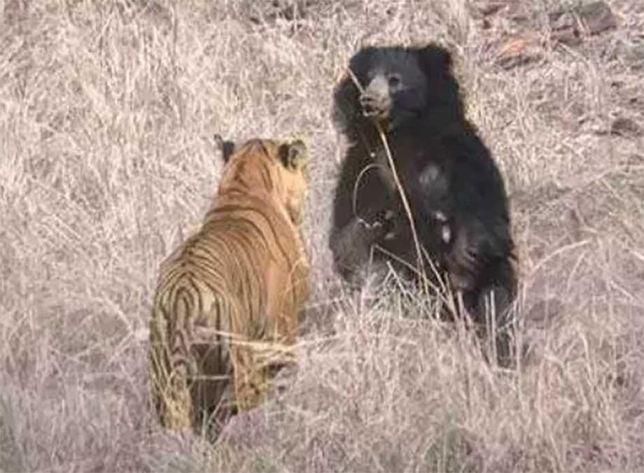 tigre-contra-oso.jpg