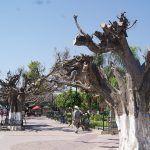 Reforestarán jardín principal de Huanímaro