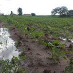 Evalúan afectación en cultivos por inundación y encharcamientos en parcelas