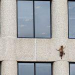 El mapache que se volvió famoso por escalar un edificio de 25 pisos en Estados Unidos