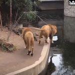 León despistado da «un mal paso» y cae al fondo de su estanque