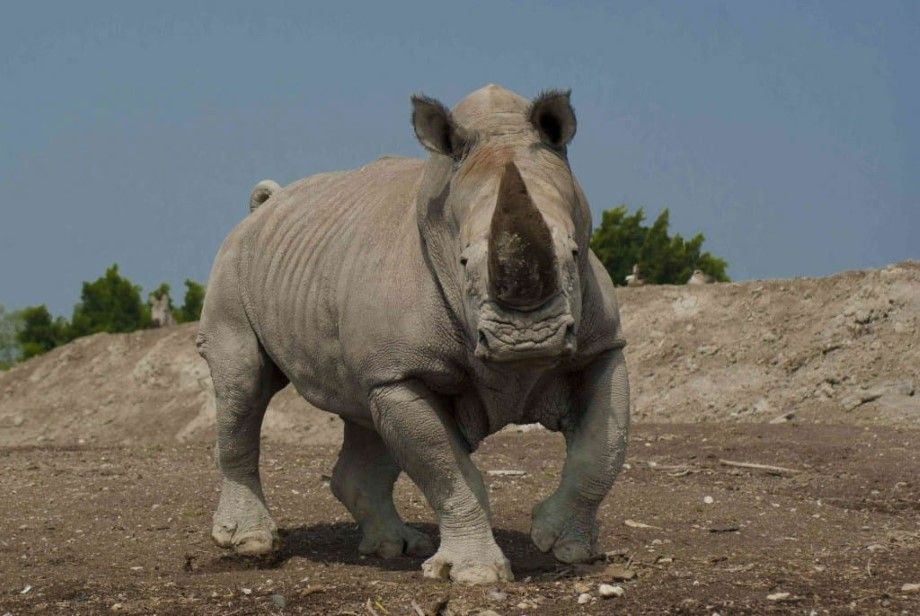 Photo of Ataca rinoceronte a camioneta en Africam Safari (video)
