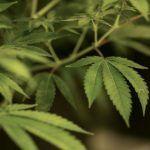 Empresa busca a catadores de mariguana… sí, ¡de mariguana!