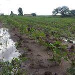 Reporta Pénjamo más de 4 mil hectáreas de cultivo afectadas