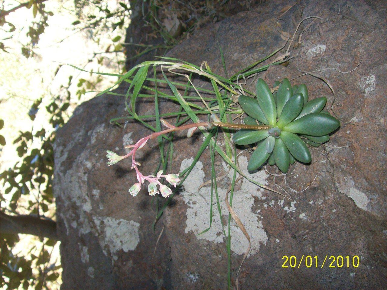 """Photo of Guanajuato cuenta con planta """"suculenta"""" única a nivel mundial"""