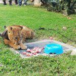 Rescatan a león cachorro que fue abandonado