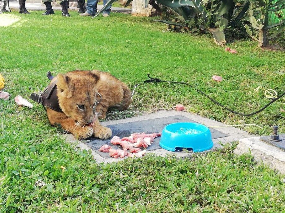 Photo of Rescatan a león cachorro que fue abandonado