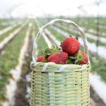 La deliciosa Ruta de las Fresas, en Irapuato