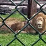 Cebras, leones, venados y canguros, animales que llegaron este año al Zoo Ira
