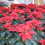 Nochebuenas en Abasolo desde la sierra de SLP