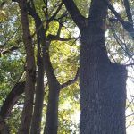 Desarrollo para SFR a costa de tala de árboles