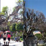 Irapuato igual que en Huanímaro: árboles se secan