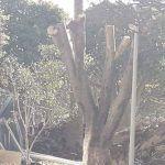 """Ahora en el Jardín Principal; """"mutilan"""" árboles"""
