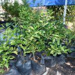 Dirección de Ecología ofrece árboles en donación