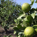 Agricultores de Pénjamo, ahora plantarán limón Persa