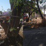 «Talan» jacaranda en Avenida Guerrero; un árbol que sólo nace en Primavera