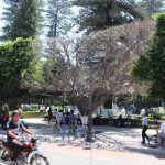 También en Pénjamo; árbol del Jardín Principal se seca
