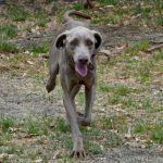Darán en adopción a perros Weimaraner rescatados
