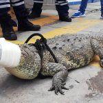 Trasladan a cocodrilo a Wuameru y sale el dueño