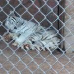 """Existe en zoológico un tigre blanco que """"sonríe"""" al llamarle y tomarle fotos #video"""