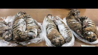 Photo of Encuentran siete tigres congelados en un auto en Vietnam
