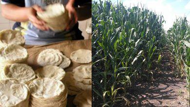 Photo of En Guanajuato, entre precio del maíz y el kilo de tortilla hay una diferencia de hasta 11 pesos
