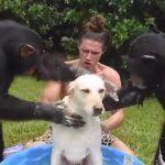 Chimpancés bañan a perrito, lo más tierno que podrás ver hoy