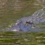 Buscan a dos cocodrilos en el Río Silao